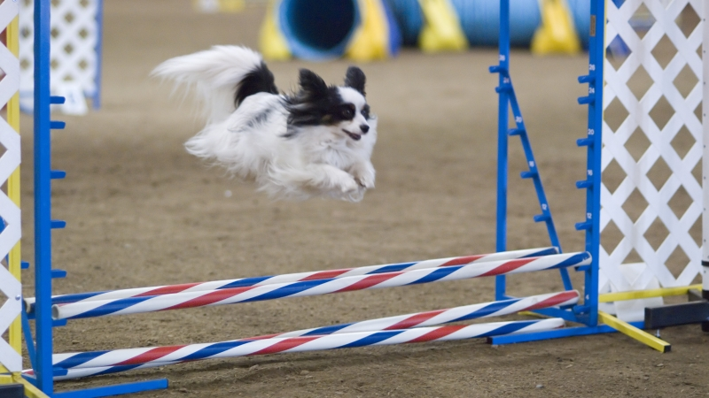 Papillon_dog_agility_jump