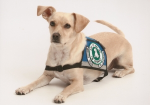 Psychiatric service dogs like this one go through extensive training that isn't required of ESAs.