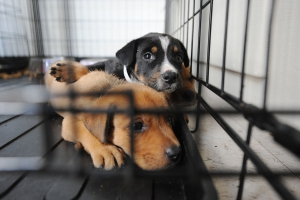1280px-fema_-_38417_-_dogs_at_a_shelter_for_displaced_pets_in_texas