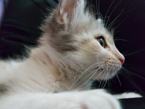 kitten_miao_pussy_cat_feline_malai_puppy_pet-485915.jpg!d