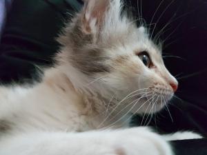 kitten_miao_pussy_cat_feline_malai_puppy_pet-485915.jpg!d