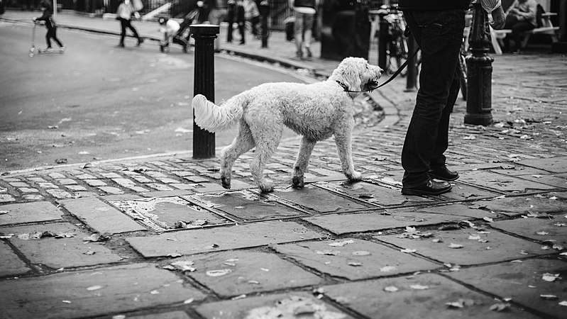 800px-White_dog_walk_in_richmond_(Unsplash)
